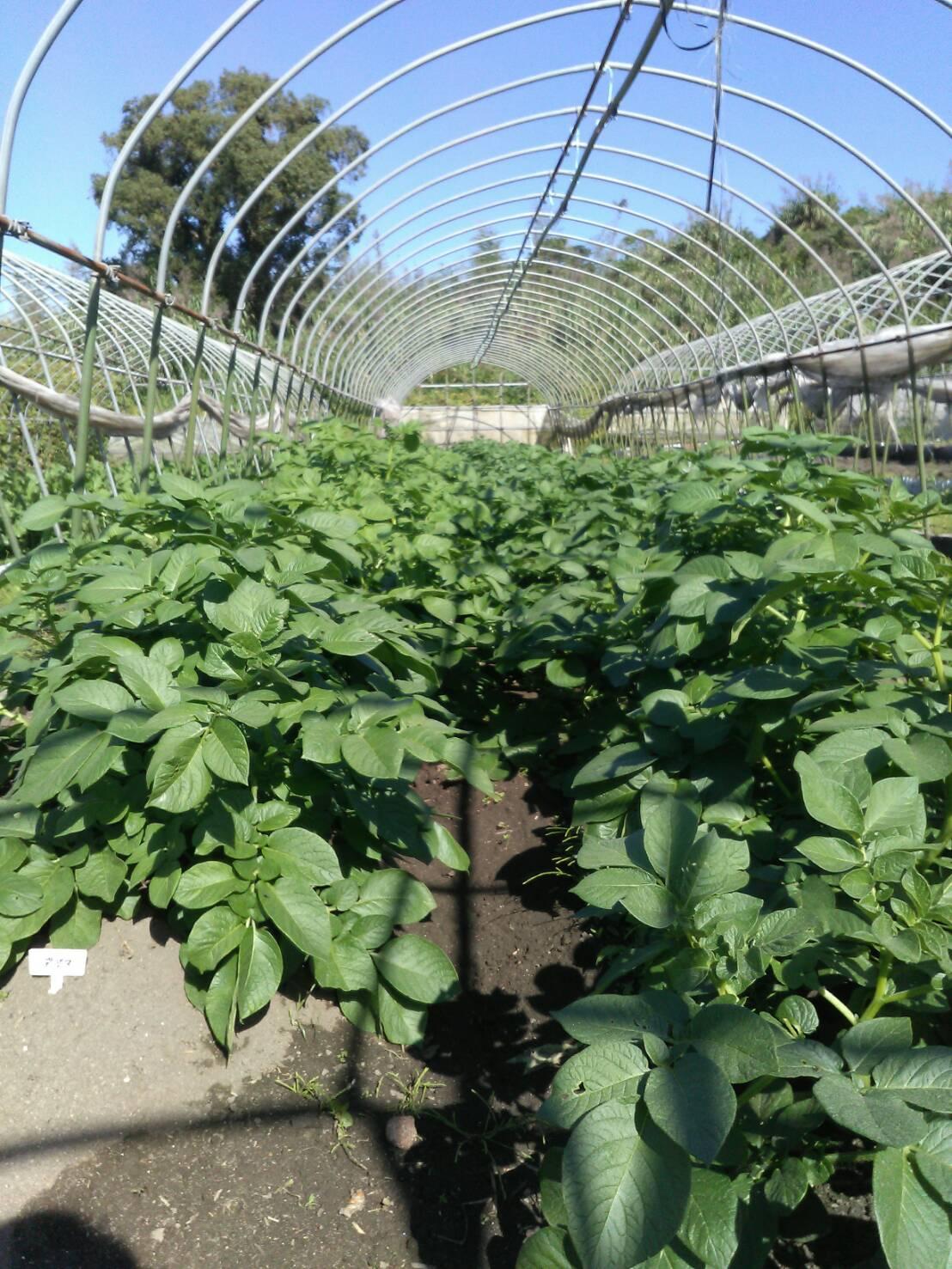 シャイン桜島農園、収穫じゃ~